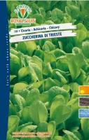 cicoria zuccherina