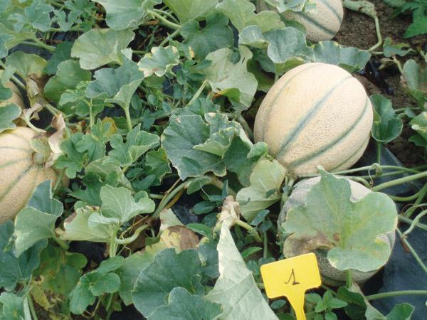 Melone royal seeds for Pianta di melone