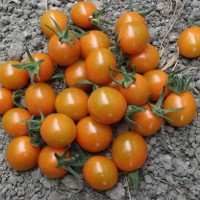 pomodoro corniola