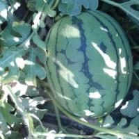 anguria srx 1-70
