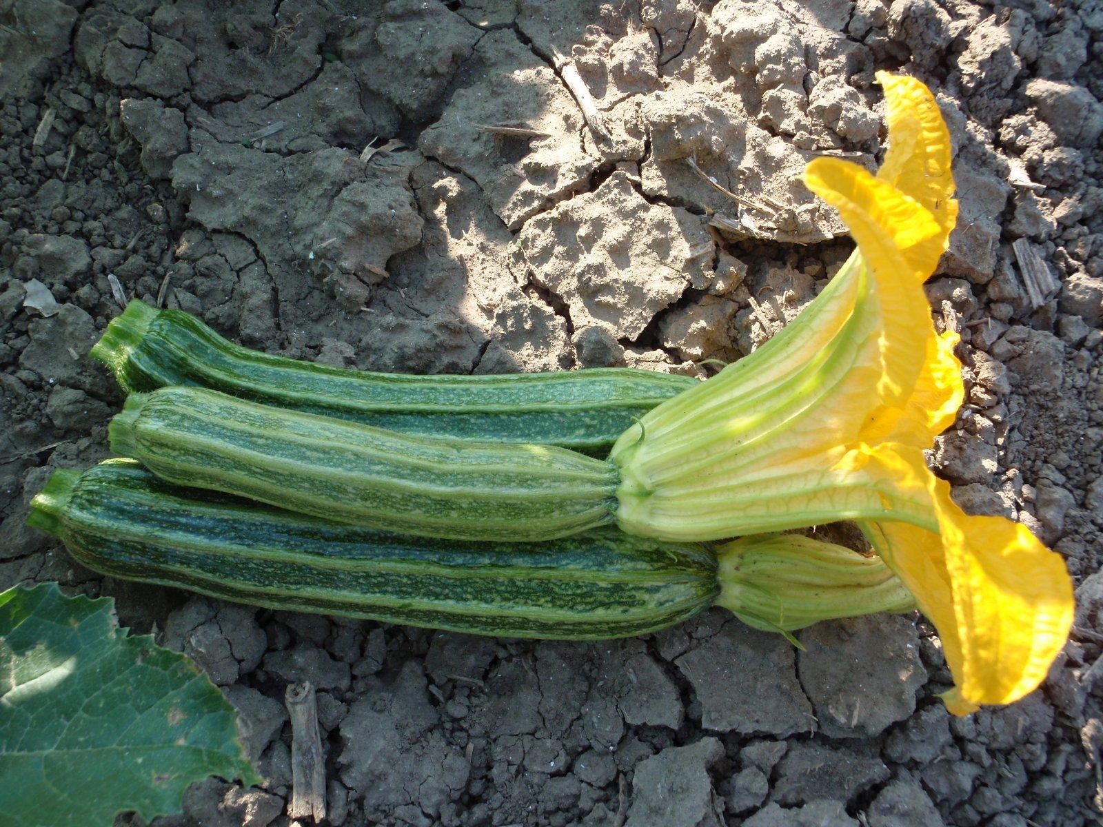 Varietà Zucchine Da Fiore zucchino | royal seeds